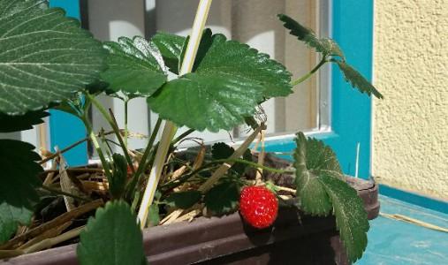 Erdbeeren am Fensterbrett